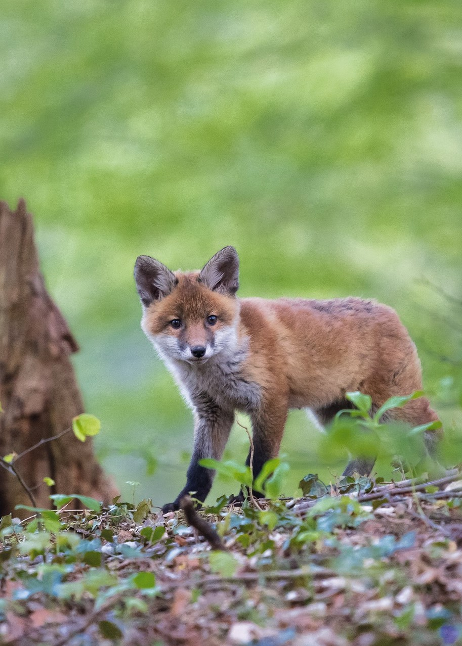 The Foxes of Prince Edward Island